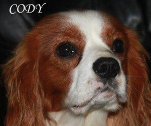 Cody-close-up-3 Cavalier King Charles Spaniel Ireland